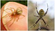 Паук-оса и паук-сак