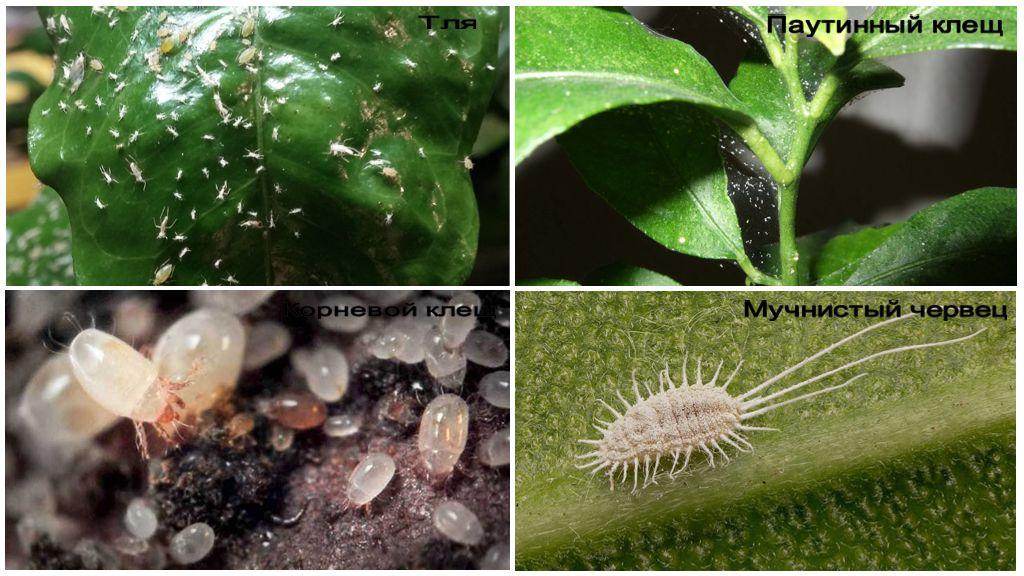 Вредители комнатных растений и меры борьбы с ними, фото пораженных цветов и их лечение
