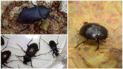Черные жуки в квартире