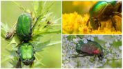Питание жука бронзовки