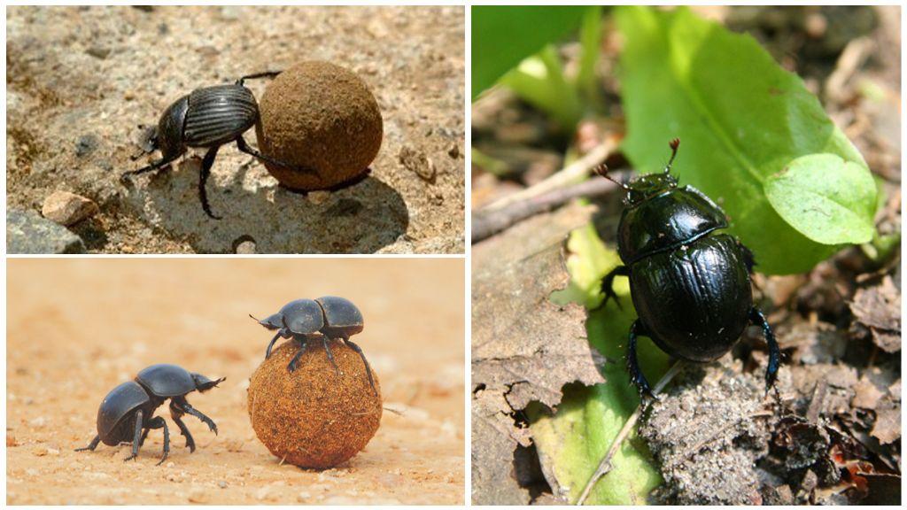 Еда жука навозника