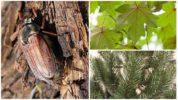 Рацион майского жука