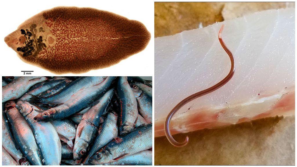 Сельдяной червь и лососевый сосальщик