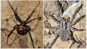 Каракурт и тарантул