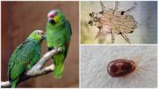 Клещи у попугая