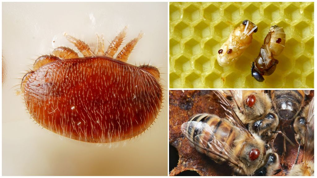 Обработка пчел от клеща весной и летом