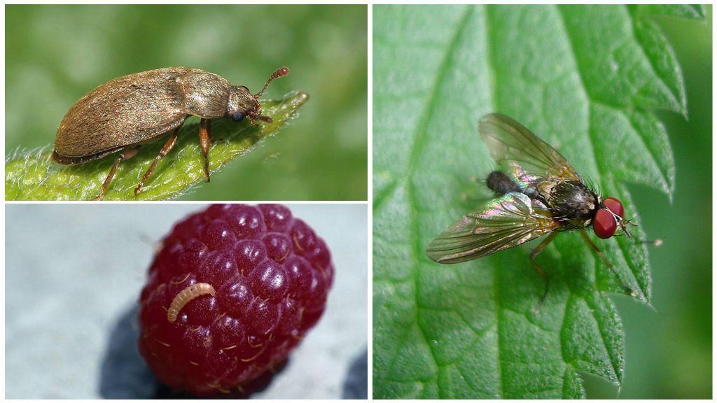 Малиновый жук и малинная стеблевая муха