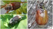 Майские жуки рода Melolontha