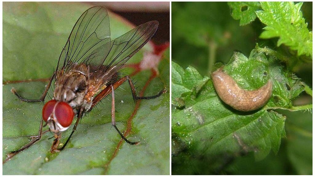 Ростковая муха и слизень