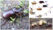 Стадии развития жука носорога