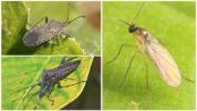 Огуречный клоп и комарик