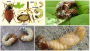 Цикл размножения майского жука