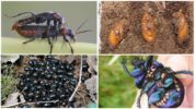 Размножение жука навозника