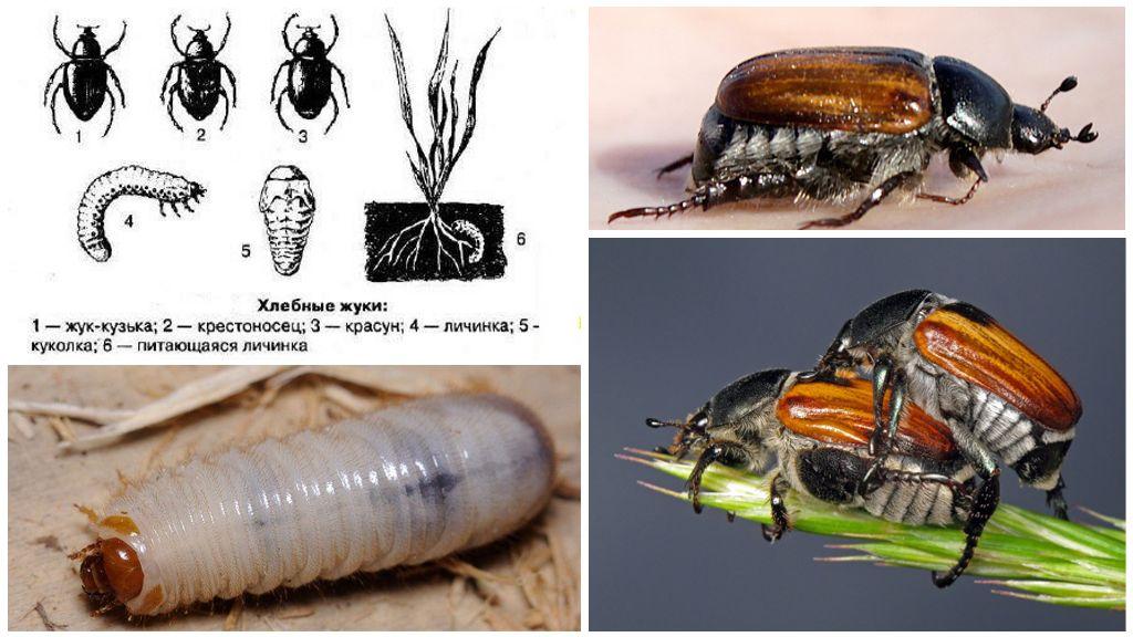Хлебный жук кузька
