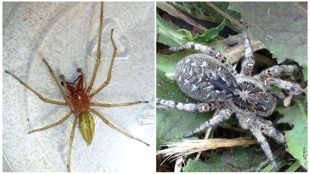 Южнорусский тарантул и паук сак
