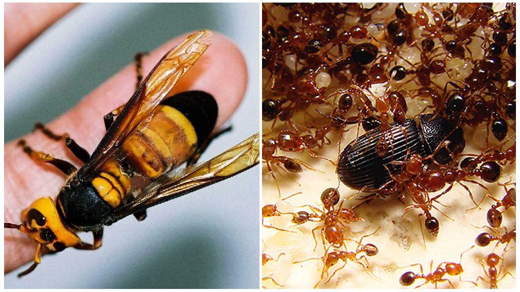 Азиатский огромный шершень и огненные муравьи