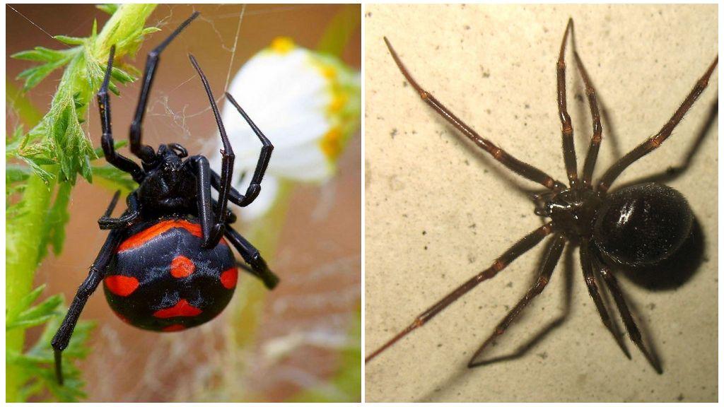 Описание и фото пауков Сибири