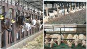 Стойловое содержание коз
