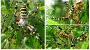 Тигровый паук Аргиопа Брюнниха