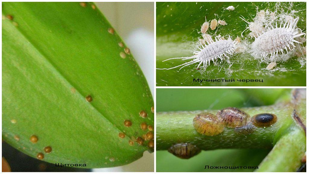 Вредители орхидей Фаленопсис