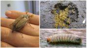 Яйца и личинки майского жука