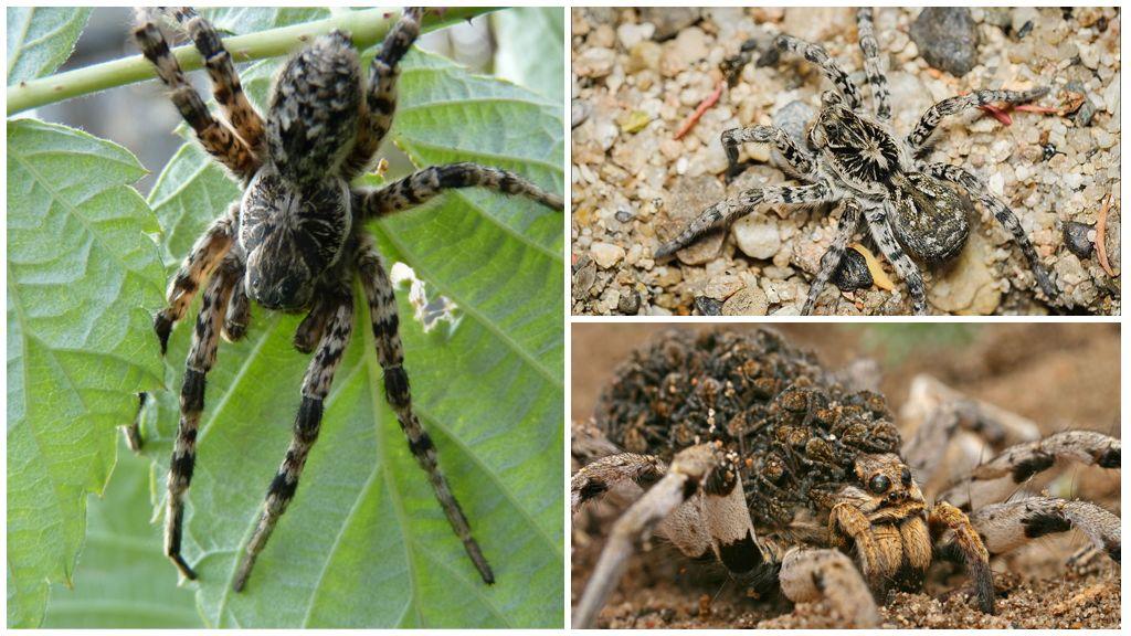 Южнорусский вид тарантула