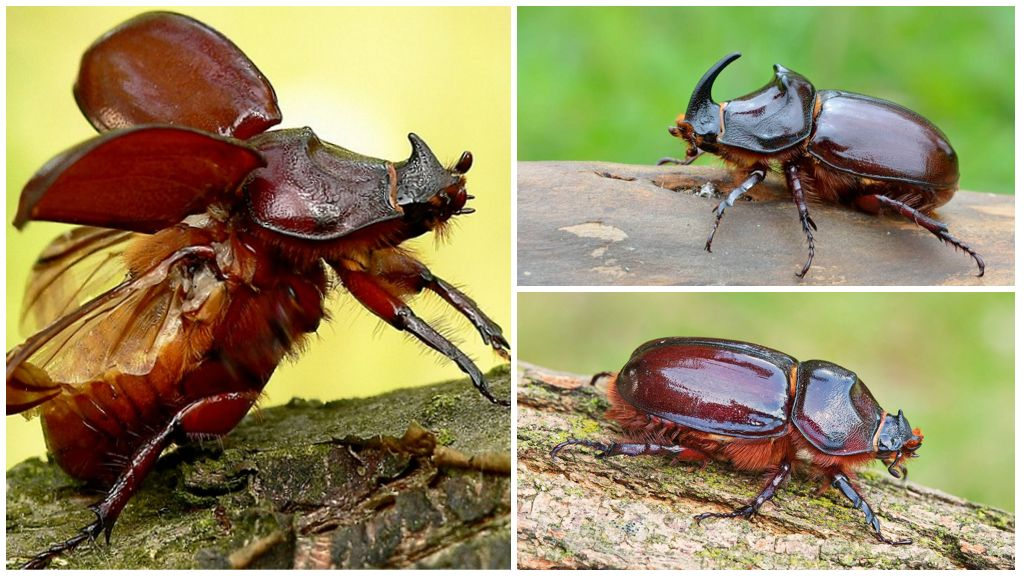 Описание и фото жука-носорога