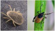 Отряд клещей Ixodidae