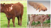Демодекоз у коров