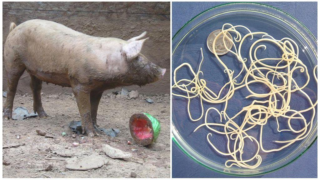 Глисты у свиней