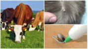 Удаление клеща у коровы