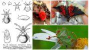Жизненный цикл клеща краснотелки