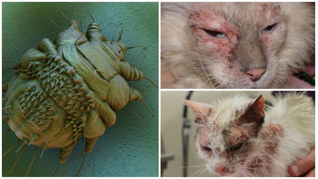 Чесоточный клещ у кошек