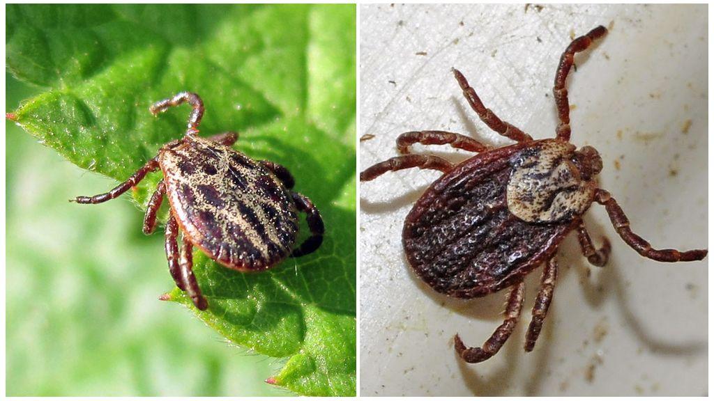 Описание и фото клещей рода Dermacentor