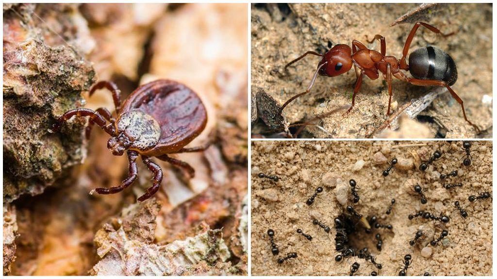 Клещи и муравьи