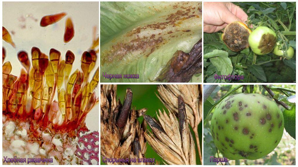 Грибы паразиты растений