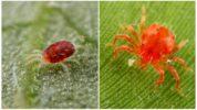 Плодовые и паутинные клещи