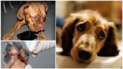 Последствия пироплазмоза у собак