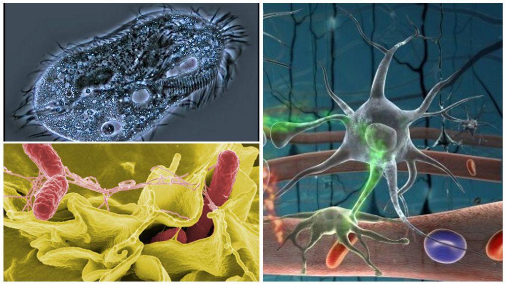 Простейшие паразиты, амеба