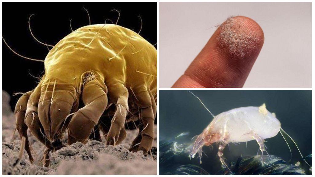 Питание пылевых клещей