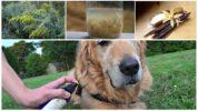 Народные средства для собак от клещей