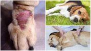 Симптомы боррелиоза у собак