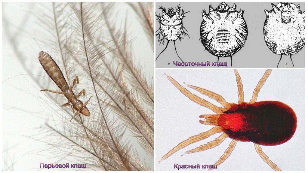 Клещи, паразитирующие на курах