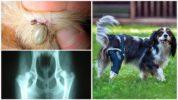 Осложнения после боррелиоза у собак