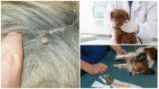 Анализ на пироплазмоз у собак
