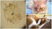 Саркоптоз у животных