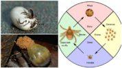 Цикл размножения собачьего клеща