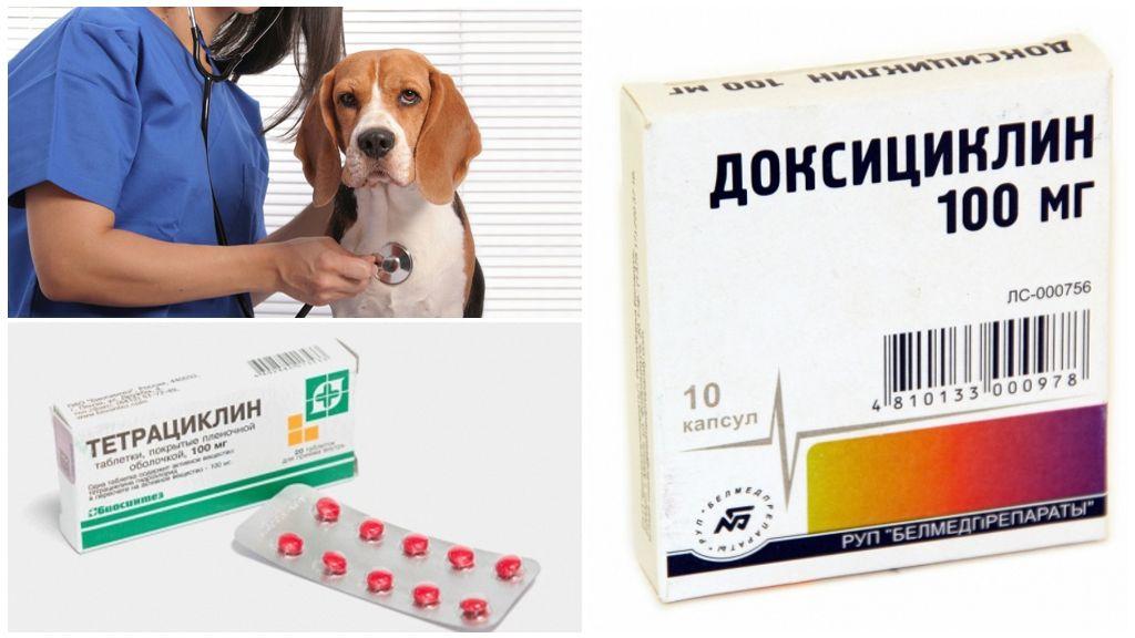 Лечение эрлихиоза у собак