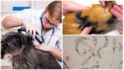 Диагностирование демодекоза у собак