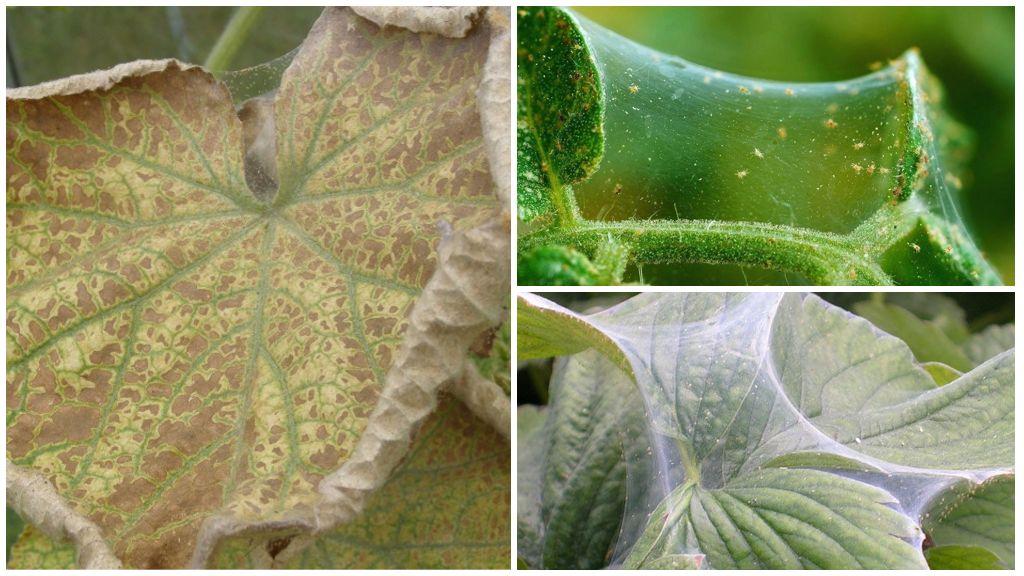 Чем и как бороться с паутинным клещом на огурцах